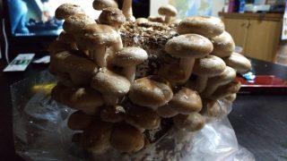 家族で楽しい!きのこの栽培キットで椎茸を大量生産してみた!!